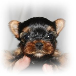 5 week old yorkie puppy