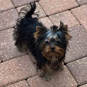 8 month old yorkshire terrier