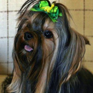 baby doll face yorkie