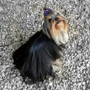 female yorkshire terrier long hair