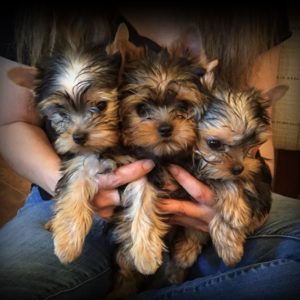 holding litter of baby doll yorkies