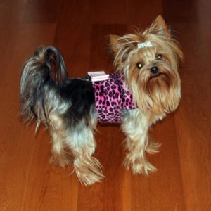 lets talk yorkie devils of york female