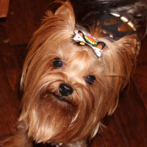 male yorkshire terrier champion bloodlines