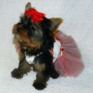 yorkie puppy wearing dress and bow