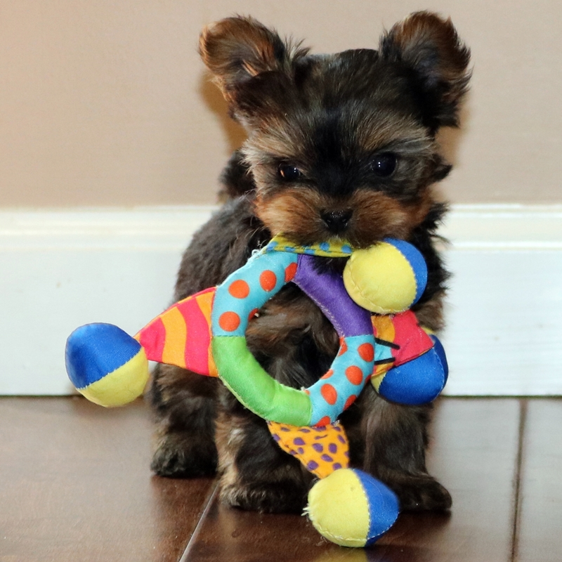 Lets Talk Yorkie Home Of Yorkie Puppies In New York